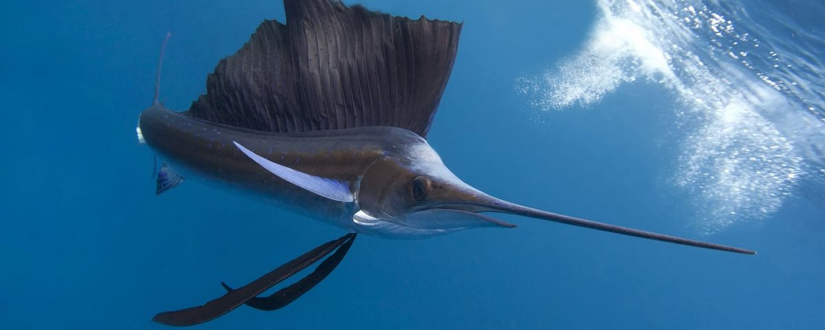 sip-bkg-sailfish-01.jpg