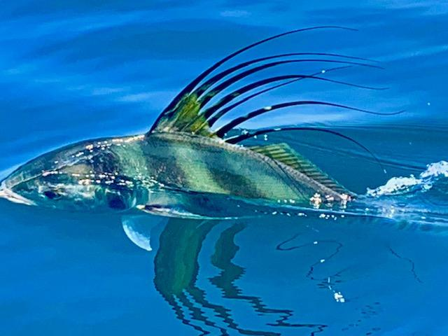 Roosterfish are biting in Boca Chica - Reel Inn in Panama Sport Fishing